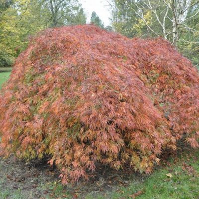 A Maple Tree
