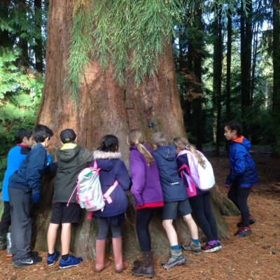 'Spongy' Redwoods at Harcourt Arboretum